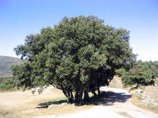 http://eco-altitude.noname.fr/images/Chene%20vert04.jpg
